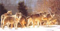 Les Loups du Gévaudan, Ste Lucie, Lozère